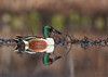 "<center><font face=""Century Gothic"" size=""+1"" color=""#FFFFFF"">Northern Shoveler<font face=""Century Gothic"" size=""+1""><center><font color=""#377915"">Tinkers Creek State Nature Preserve, Ohio</font></center></font></font></center>"