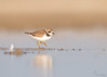 "<center><font face=""Century Gothic"" size=""+1"" color=""#FFFFFF"">Semipalmated Plover</font></center><font face=""Century Gothic"" size=""+1"" color=""#3366FF""><center><font color=""#377915"">Conneaut, Ohio</font></center></font>"