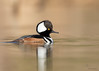 "<center><font face=""Century Gothic"" size=""+1"" color=""#FFFFFF"">Hooded Merganser<font face=""Century Gothic"" size=""+1""><center><font color=""#377915"">Brecksville Reservation, Ohio</font></center></font></font></center>"