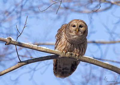 Barred OwlTinkers Creek Park, Ohio