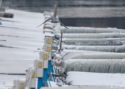 Snowy Owl w/  Peregrine FalconLorain Impoundment, Ohio