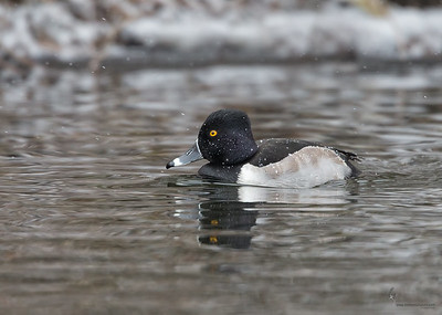 Ring-necked Duck (drake)Manchester Road Trailhead, Ohio
