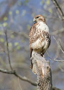 Red-tailed HawkBrecksville Reservation, Ohio