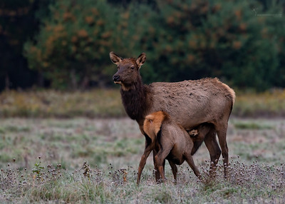 Nursing cow Elk