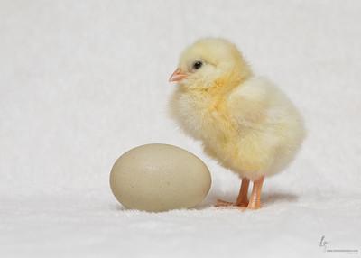 No NameSuper Blue Egg Layer