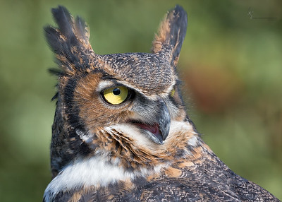 """Juniper"" Great Horned Owl  (captive)Medina Raptor Center, Ohio"