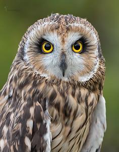 """Reese"" Short-eared Owl (captive)Medina Raptor Center, Ohio"