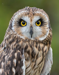"""Reese"" Short-eared Owl (captive)Medina Raptor Center, Ohio"