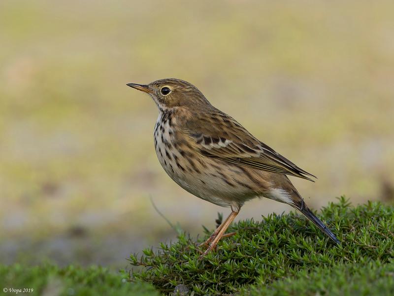 Graspieper (Meadow Pipit).