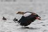 Nijlgans (Egyptian Goose).