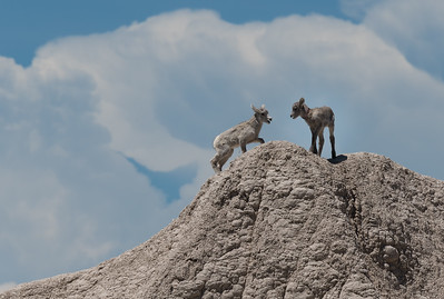 We visited five national parks and monuments, beginning with Badlands National Park where we had a long look at a number of desert bighorn sheep. These two were so young you can still see their umbilical cords.
