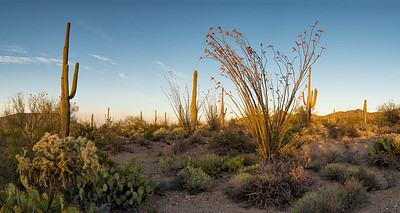 Ocotillo Cacti were in bloom everywhere. This spot was in Prophecy Wash, in Saguaro National Park.