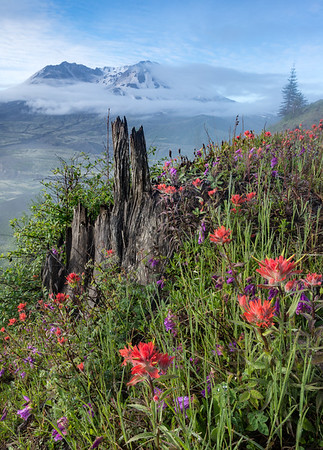 Mount St Helens and Indian Paintbrush. After two days of rain, the mountain was again visible in the morning. 3rd place in Digital Nature, N4C, Sept 2017