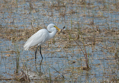Great Egret Eating a Frog. 1st place, Nature Prints, N4C Sept 2015