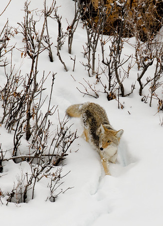 Here the coyote is making its way down the snowy river bank toward the river's edge.