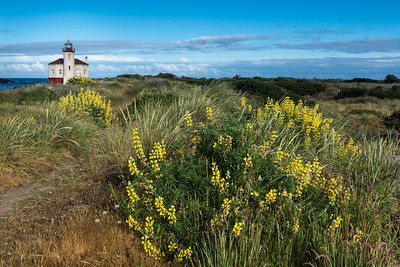 Coquille Lighthouse and yellow lupine