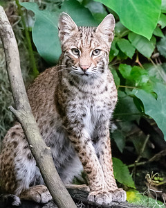 Bobcat Portrait 1