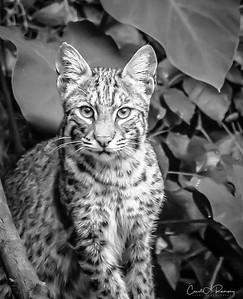 Bobcat in B/W