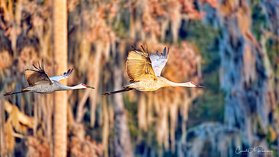 Sand Cranes in flight