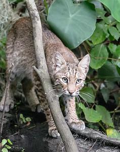 Bobcat Portrait 2