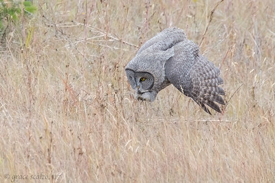 Great gray owl diving for prey
