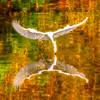 2 Rendition Snowy Egret and Reflection