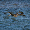 Two Brown Pelicans Skimming Over Water of St. Joseph Bay in FL
