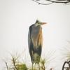 Blue Heron Perched in Tree on San Blas