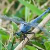 Dragonfly Prey