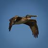 Brown Pelican in Flight near Apalachicola