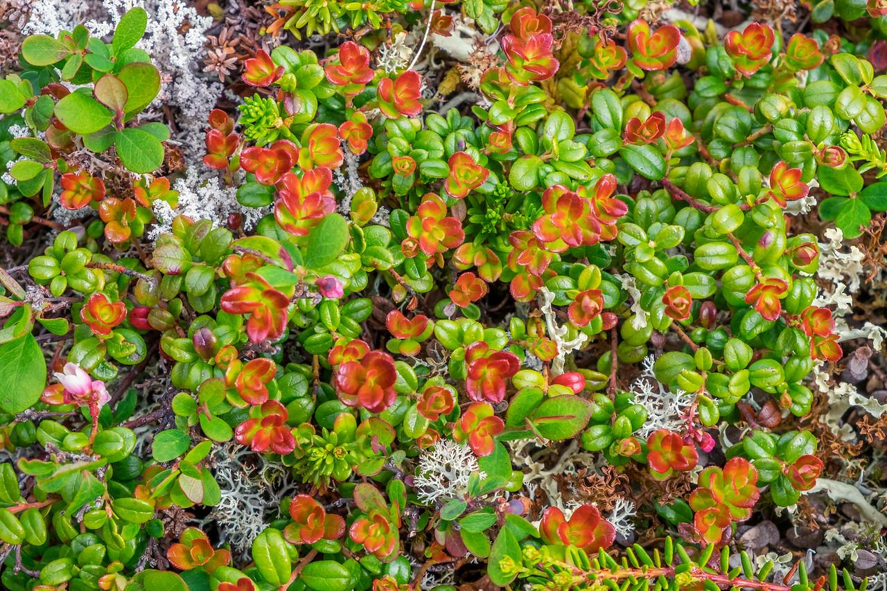 Tundra Detail,  Denali National Park