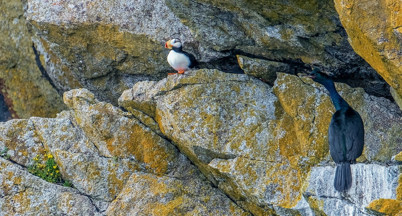 Puffin and Cormorant, Kenai Fjords National Park