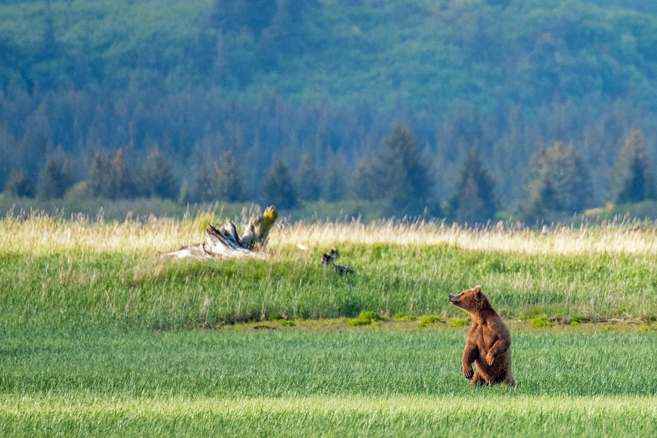 Bear 1, Katmai National Park