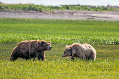 Bear 3, Katmai National Park
