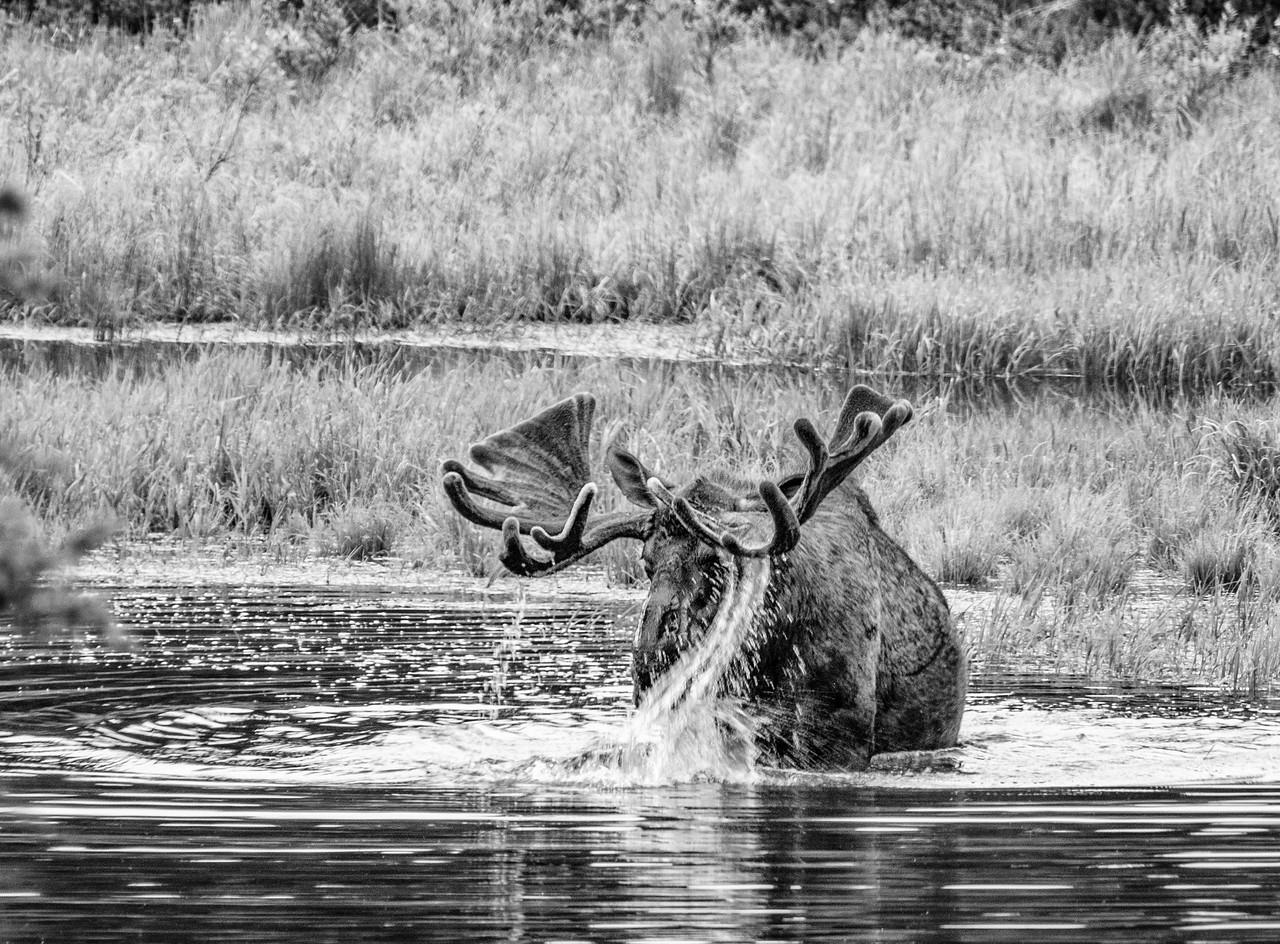 Moose 1,  Denali National Park