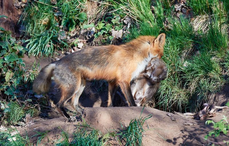 Fox with Groundhog