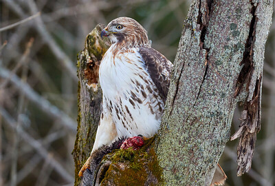 Red Tail Hawk with Squirrel