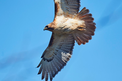 Red Tail Hawk Fly Over