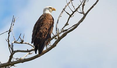 Bal Eagle