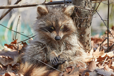 Raccon With Canine Distemper