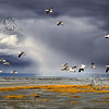 Canadian geese - Oies blanches - Bas St-Laurent - Quebec