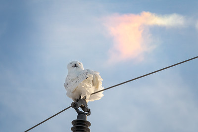 Snowy Owl and a Sun Dog