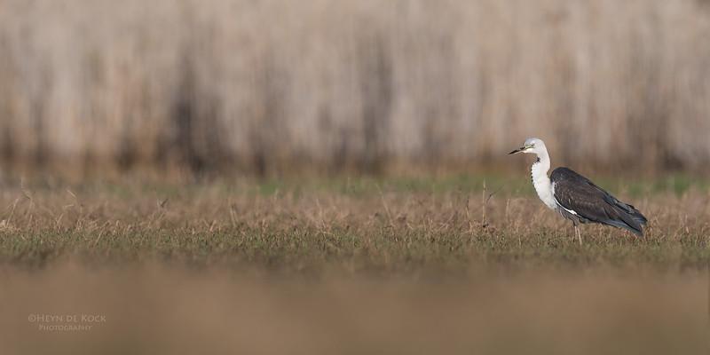 White-necked Heron, Nathan Rd Wetlands, Brisbane, QLD, Sept 2017-3