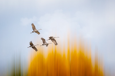 Sandhill Crane Migration #8