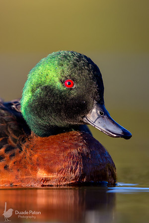Chestnut Teal - Male
