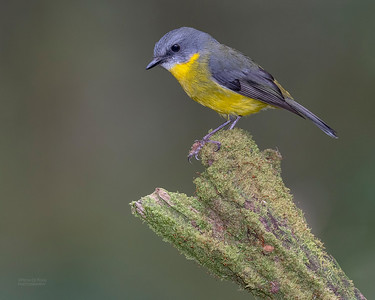 Eastern Yellow Robin, Otway Ranges, VIC, Oct 2018-3