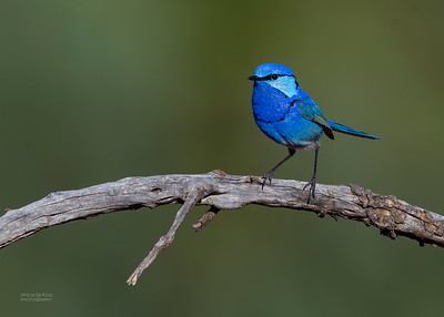 Splendid Fairywren, Round Hill NR, NSW, Oct 2018-6