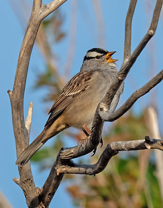 White-Crowned Sparrow-7