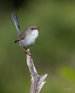 Superb Fairy-wren, Nerang, QLD, Jun 2019-1