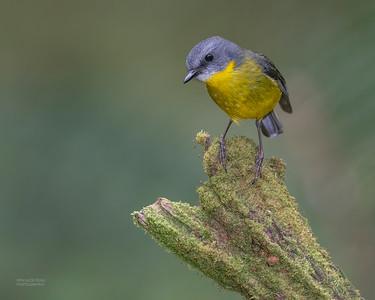 Eastern Yellow Robin, Otway Ranges, VIC, Oct 2018-1